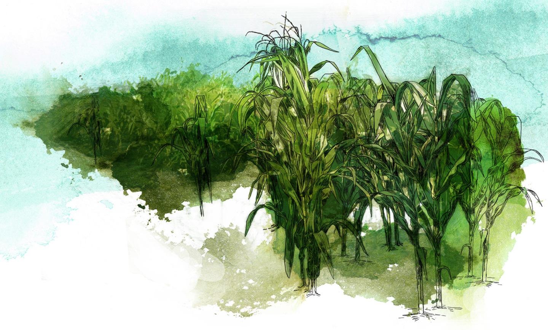 corn - WIP