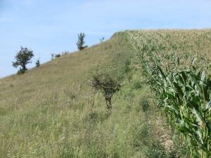 Maize field Germany NABU