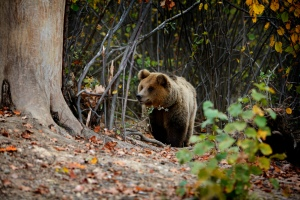 Zarnesti bear sanctuary, Romania (c) WSPA International